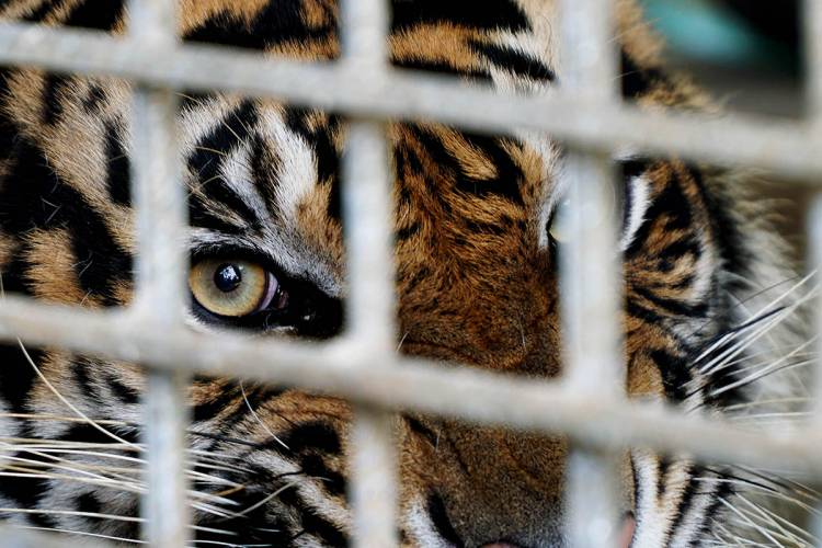 Release the tigers